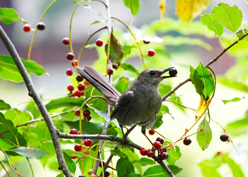 Catbird with berry