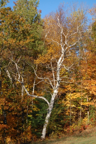 birch tree in New England fall foliage