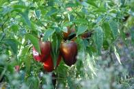 purple peppers