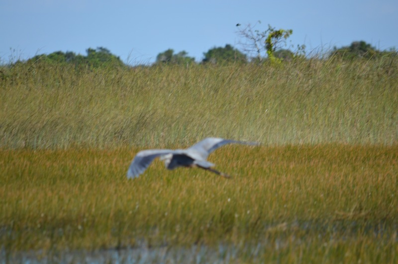 out-of-focus-image-of-great-blue-heron