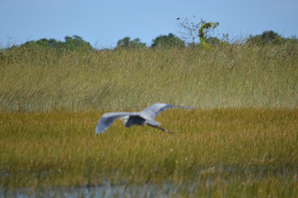 out-of-focus-great-blue-heron