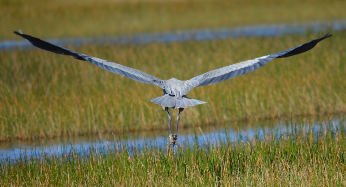 wing-span-great-blue-heron