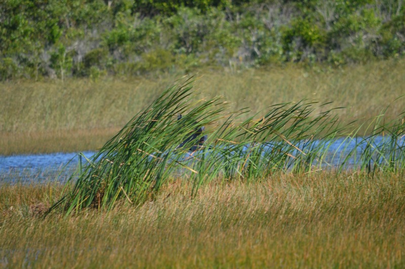 great-blue-heron-obstructed-by-grasses
