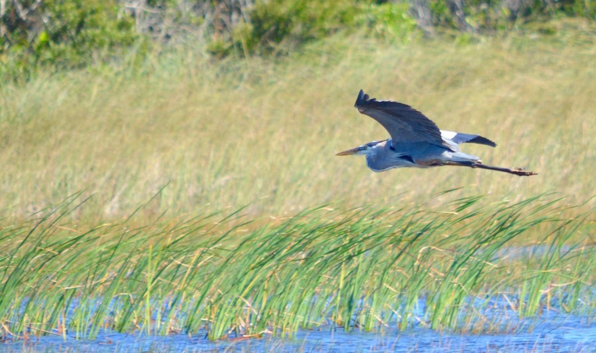 great-blue-heron-flies-low-over-everglades-grasses