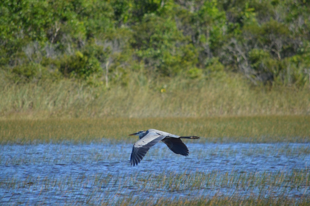 great-blue-heron-flies-low-over-everglades