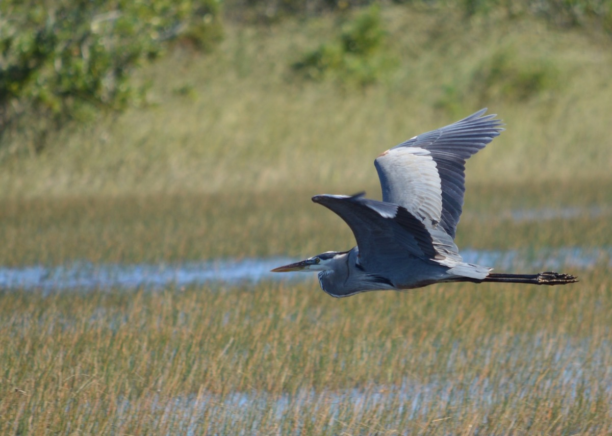 great-blue-heron-in-flight-mary-mcavoy