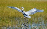 great-blue-heron-lands-in-everglades-grasses