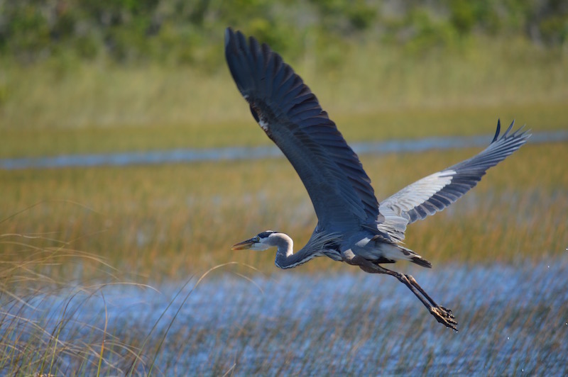 great-blue-heron-close-up-taking-off-in-the-everglades