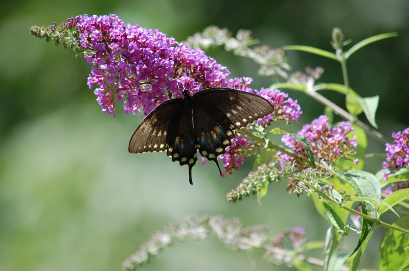 black female Eastern Tiger Swallowtail Photo by Mary McAvoy