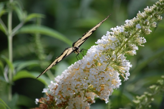 Eastern Tiger Swallowtail in Balance