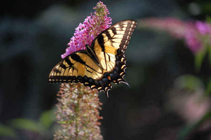 Female Eastern Tiger Swallowtail Photo by Mary McAvoy