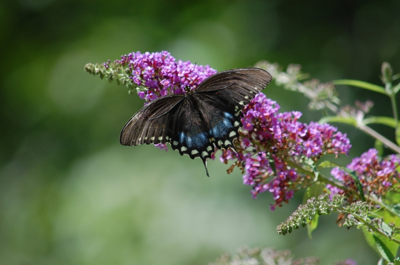 Spicebush Swallowtail - similar to black female Eastern Tiger Swallowtail Photo by Mary McAvoy