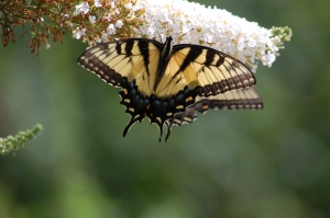 Two Eastern Tiger Swallowtails - facing is female Photo by Mary McAvoy