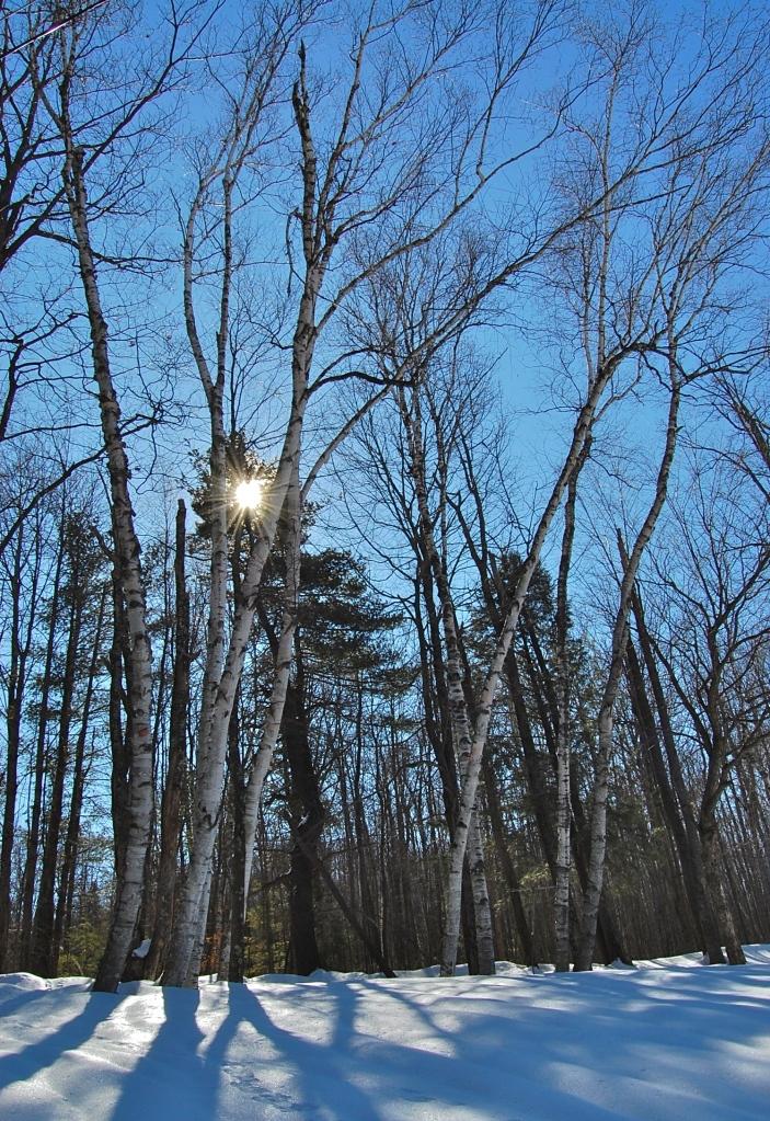 Sun burst through Birch Trees