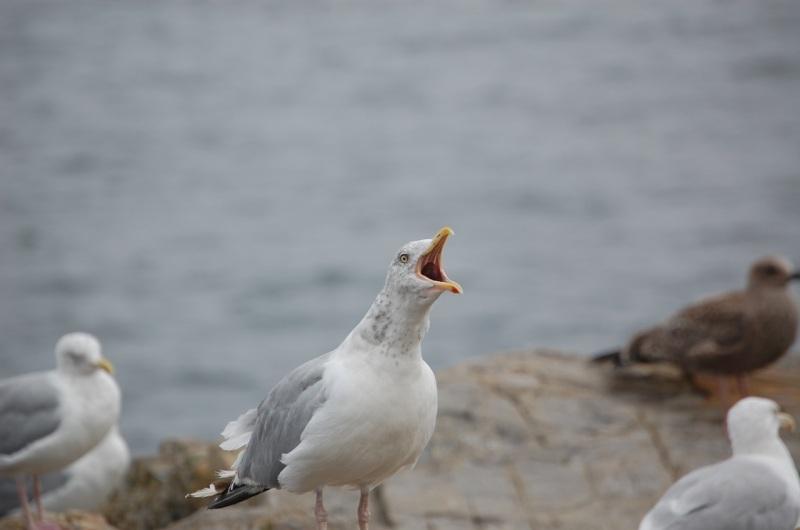 Maine seagull series 4 raucous