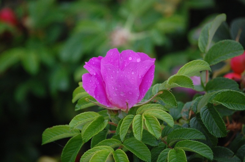 ocean rose with rain droplets