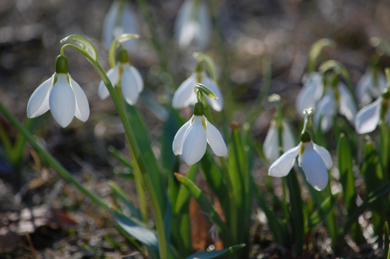 snowdrops - signs of spring
