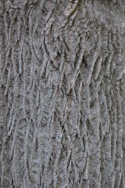 Pinched Tree Bark
