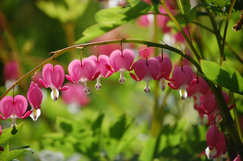Pink Bleeding Heart