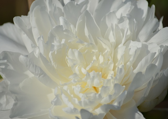 white peony up close at Stevens-Coolidge Place
