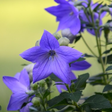 The balloon flower or bellflower or Platycodon grandiflorus, by any name is so beautiful.