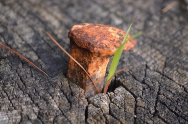 Old rusted railroad spike in tree stump