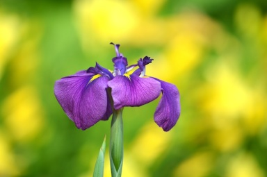 small purple and yellow iris