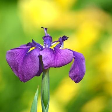 small purple and yellow iris