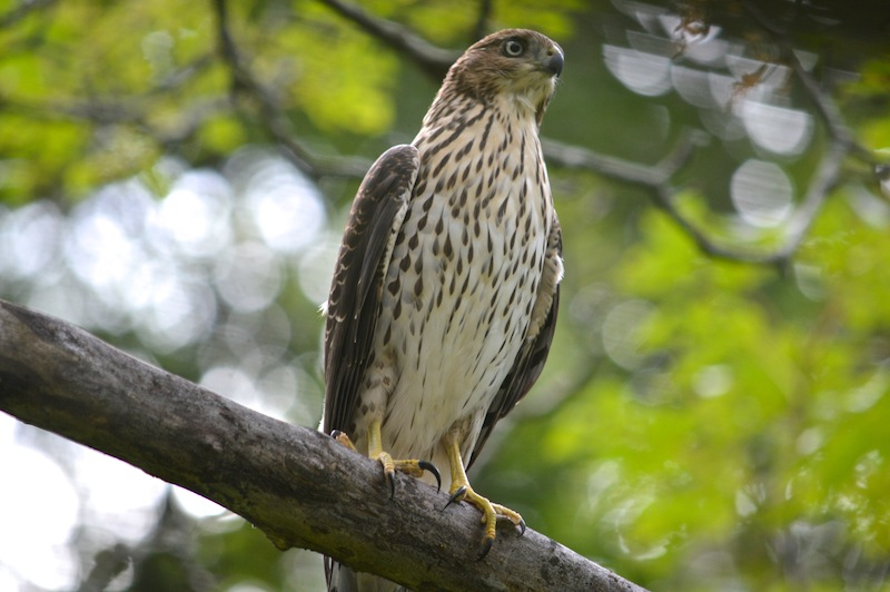 juvenile Coopers Hawk perched on a branck