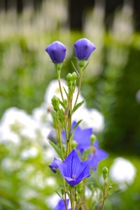 lavendar-balloon-flower