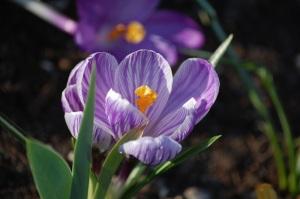 lavender-crocus