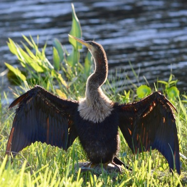 anhinga bird drying feathers in shore grass