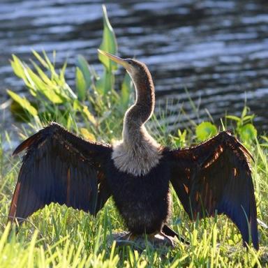 anhinga bird drying feathers in shore grass