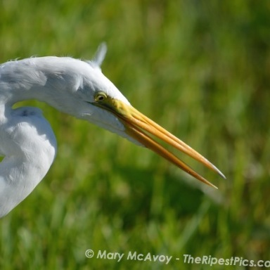white-egret-yellow-beek-yellow-eye