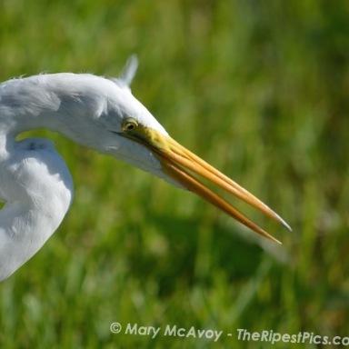 white-egret-yellow-beek-yellow-eye