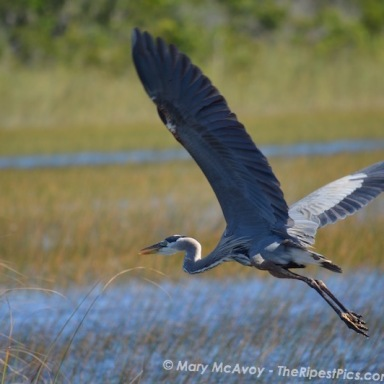great-blue-heron-in-everglades