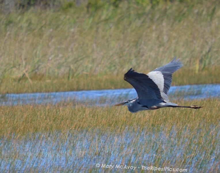great blue heron flying over everglades