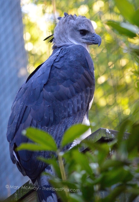 Harpy-Eagle-ZooMiami-by-Mary-McAvoy