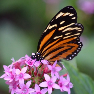 Isabella's Longwing butterfly - orange, black and cream colored wings with black body with white polkadots.