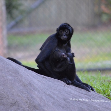 Spider-Monkey-parent-baby-by-mary-mcavoy-ZooMiami