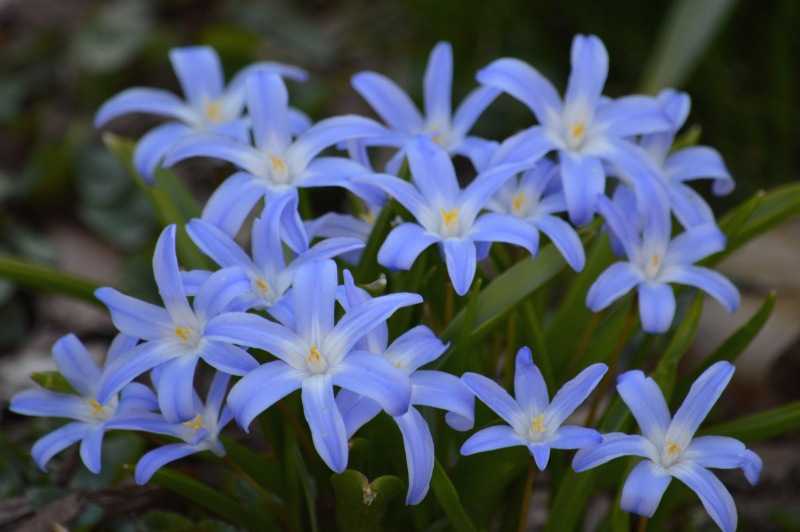 Chionodoxa-glory-of-the-snow