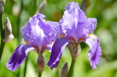 lavender-iris-blossoms