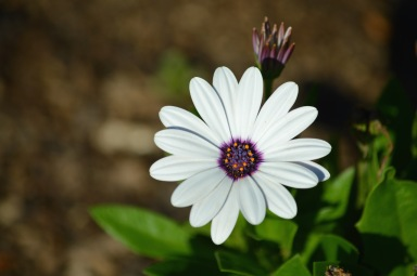white-daisy-purple-orange-center-Osteospermum-barberiae
