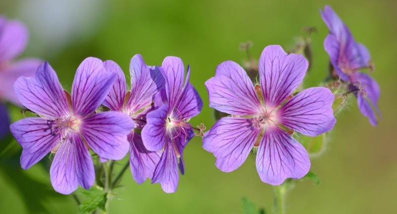 Purple-cranes-bill-geranium-flower